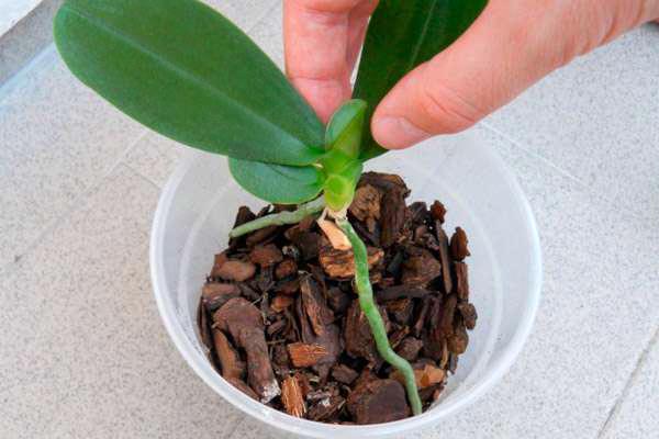 Не рекоментуется удобрять орхидею сразу после пересадки