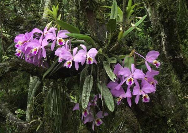 Орхидея Каттлея в природных условиях