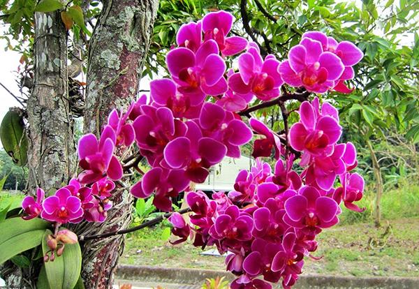 Орхидеи в дикой природе растут на деревьях и скалах