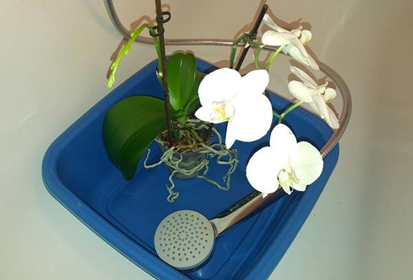 Рекомендуется устраивать орхидеям теплые ванны