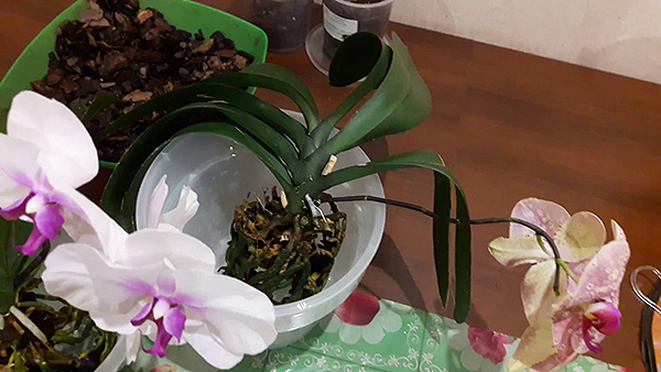 Придерживаясь всех правил пересадки, есть возможность сохранить цветы