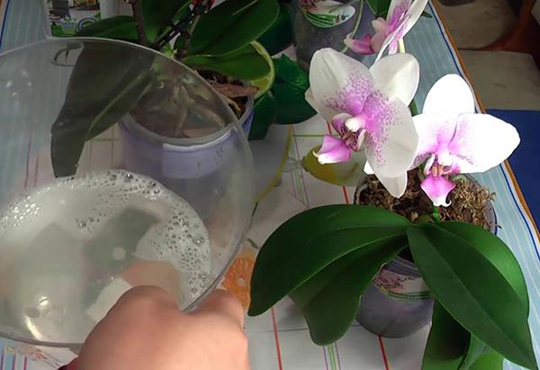 Обработка листьев орхидеи мыльным раствором