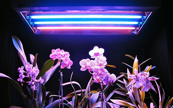 Рекомендуется использовать фитолампы, чтобы обеспечить необходимые 12 часов освещения