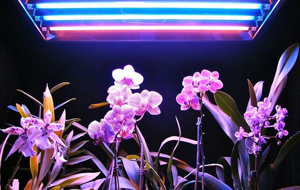 На продолжительность жизни орхидеи влияют условия содержания