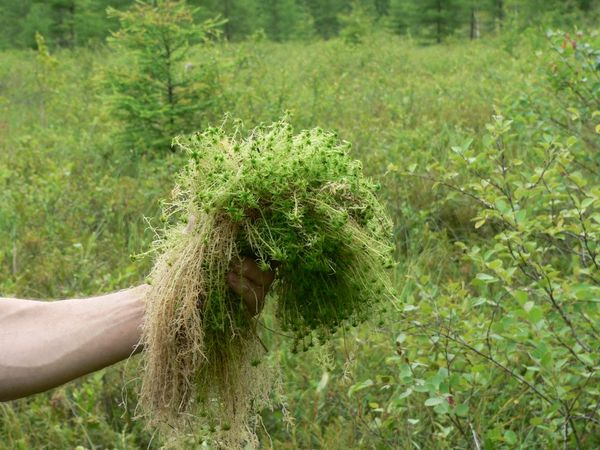 Живой сфагнум используют для разных комнатных растений