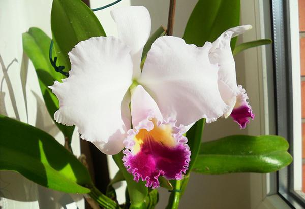 Беловато-розовая орхидея Каттлея Триана
