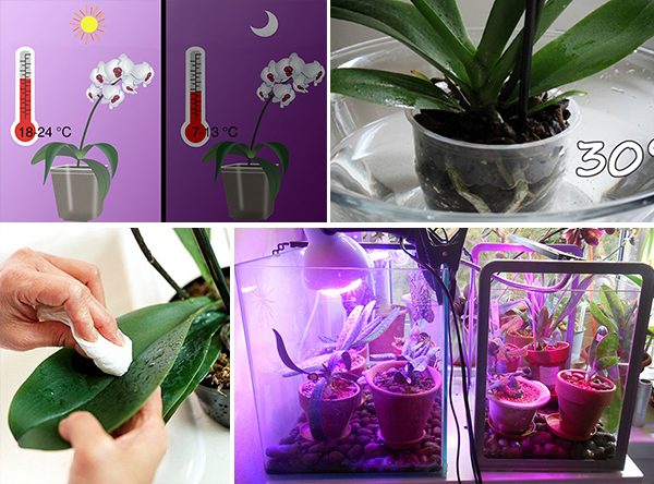 При соблюдении правил ухода за орхидеей, путь вредителям к растению будет закрыт