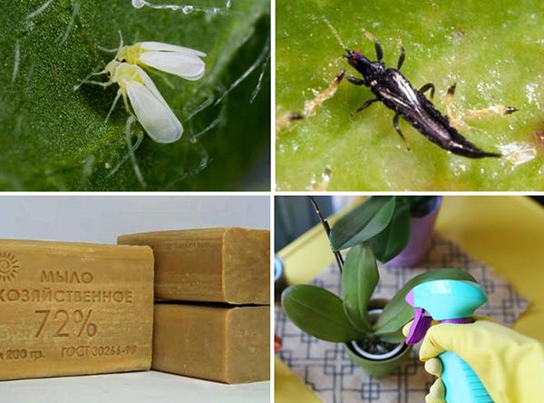 Рекомендуется попробовать устранить вредителей народными средствами, и только после - обработке пестицидами