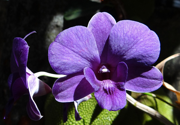 Фиолетовая орхидея подвида Дендробиум
