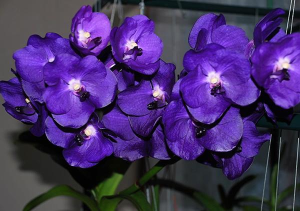 Фиолетовая орхидея подвида Фаленопсис