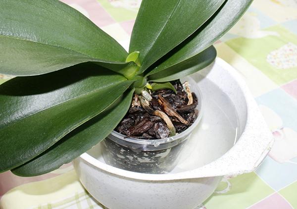Удобрение орхидеи вместе с поливом методом погружения