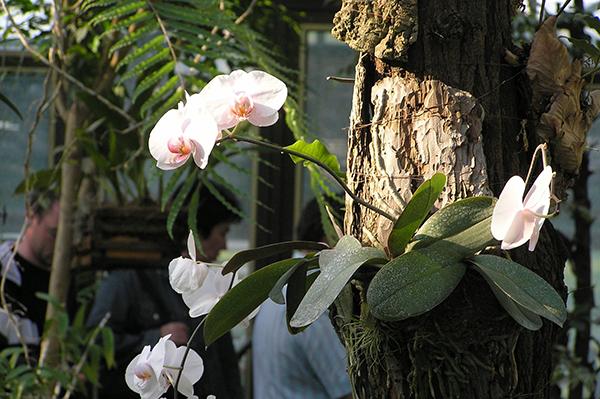 Орхидеи, которые произрастают на деревьях - эпифиты