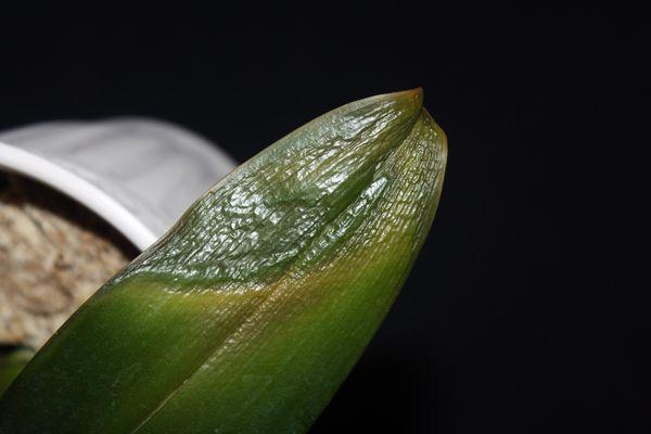 Грибок Phytophtora cactorum