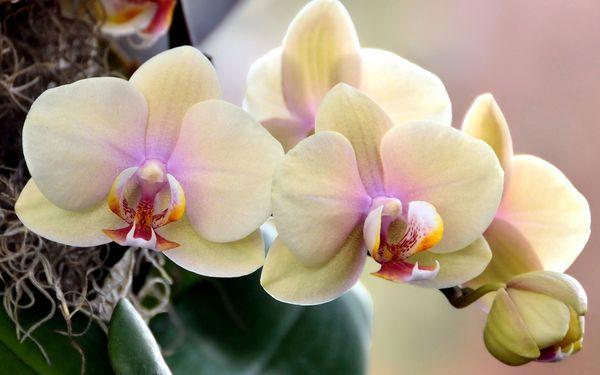 Орхидеи выращивают ради их великолепных цветков