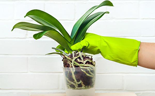 При обработке орхидеи фитоспорином используйте резиновые перчатки