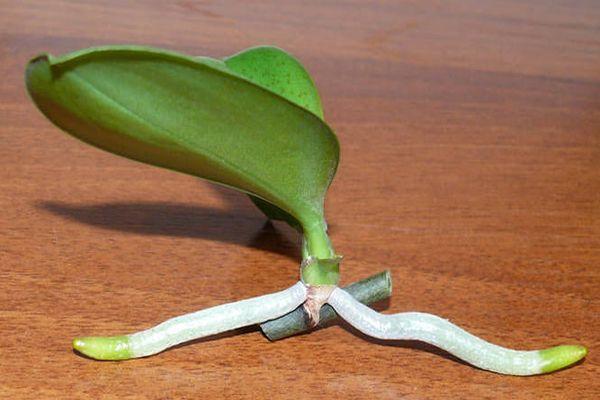 Детка орхидеи для посадки