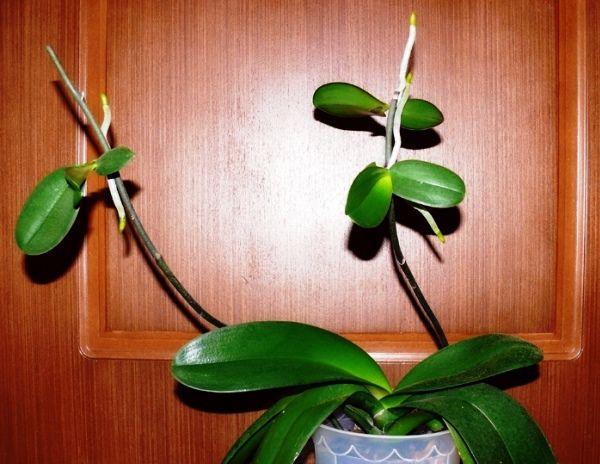 Детки на стебле орхидеи