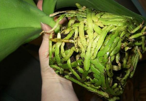 Рекомендуется пересадить орхиде, если сильно разрослись корни
