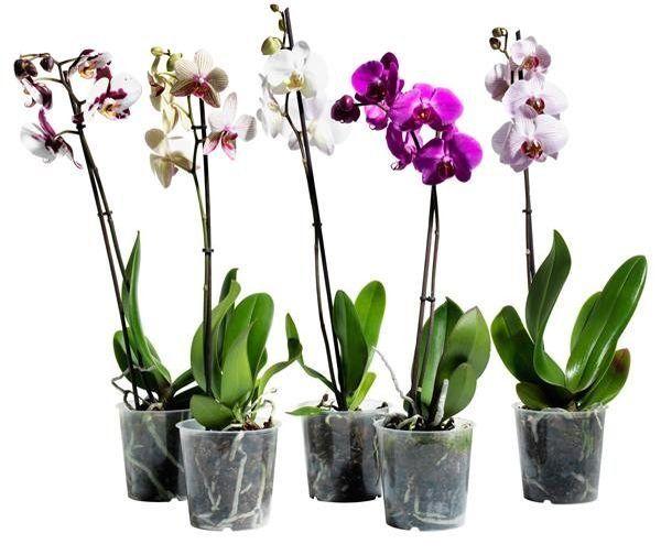 Фаленопсис относится к семейству Орхидные