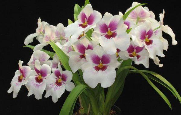 Орхидея разновидности Мильтония