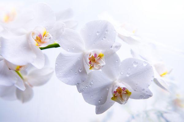Мульти орхидея