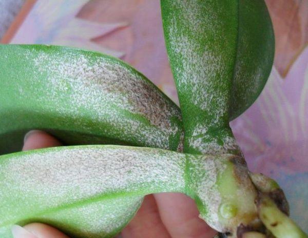Почему у орхидеи белые корни и что делать?