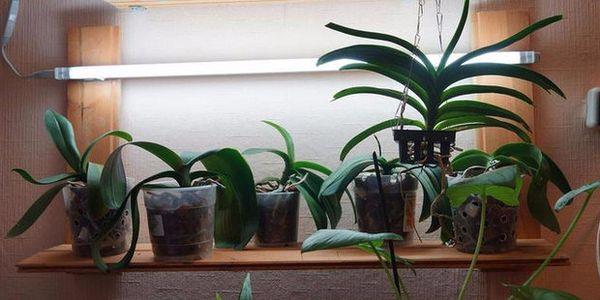 Орхидея перестает цвести при неправильном уходе
