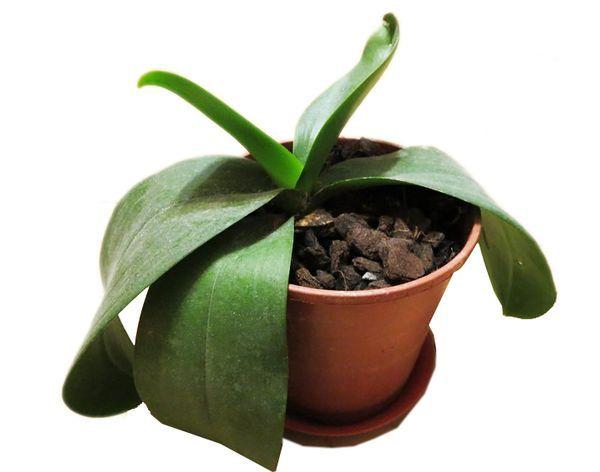 Из-за болезней орхидея часто не цветет