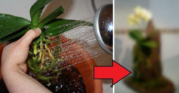 Горячий душ подходит для реанимации орхидеи