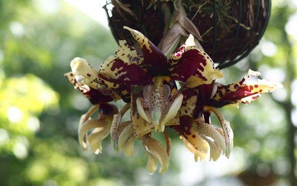 Разновидность Орхидея-бык