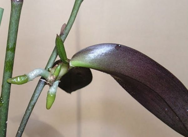 Рассаживание орхидеи детками