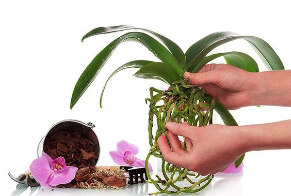 Перед пересадкой орхидеи рекомендуется вмочить корни в растворе янтарной кислоты