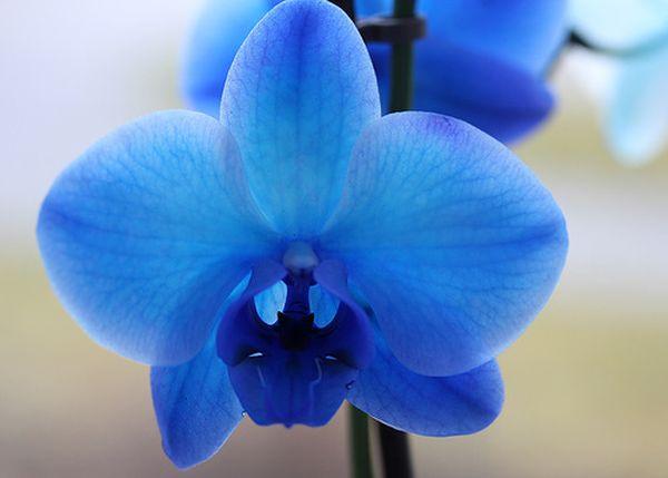 Синих орхидей в природе не существует