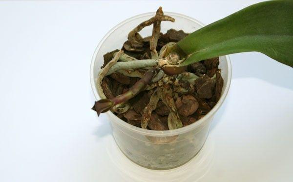 Засохла орхидея полностью что делать