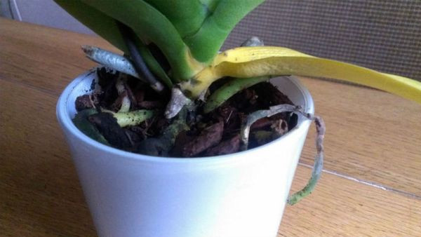 Орхидея начала засыхать