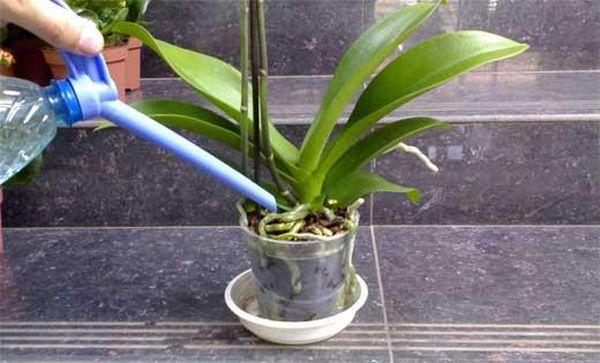 Правильный полив - залог здоровой орхидеи