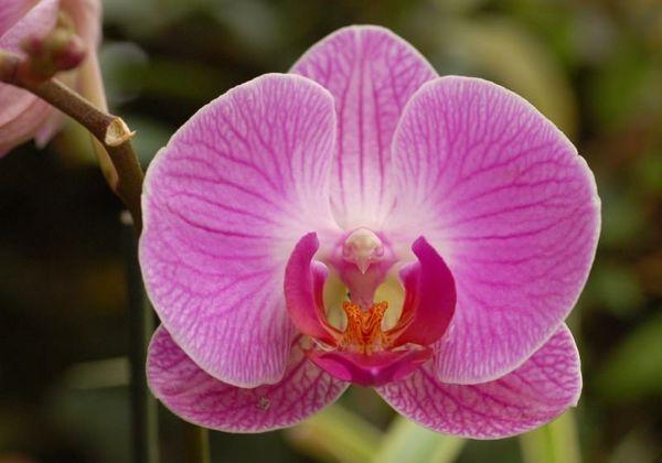 Орхидея - любимица цветоводов