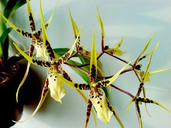 Орхидея сорта Брассия