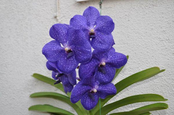 Орхидея сорта Ванда