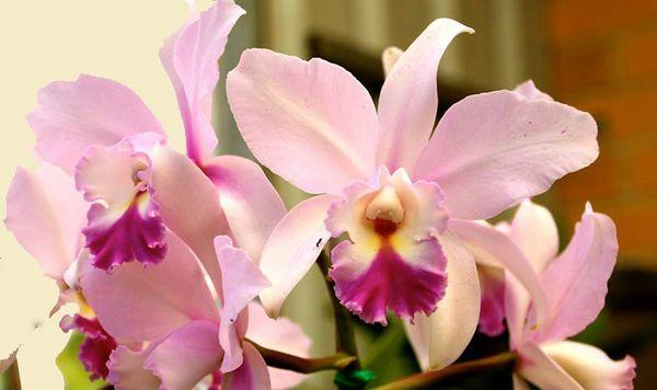 Разновидность орхидеи Каттлея