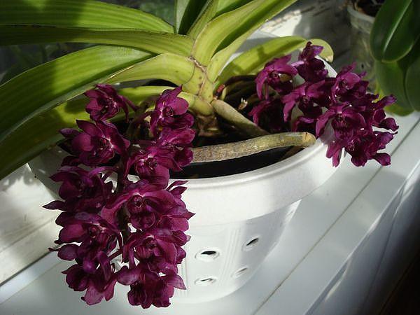 Ринхостилис - удивительно красивая орхидея