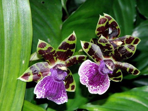 Орхидея сорта Зигопеталум