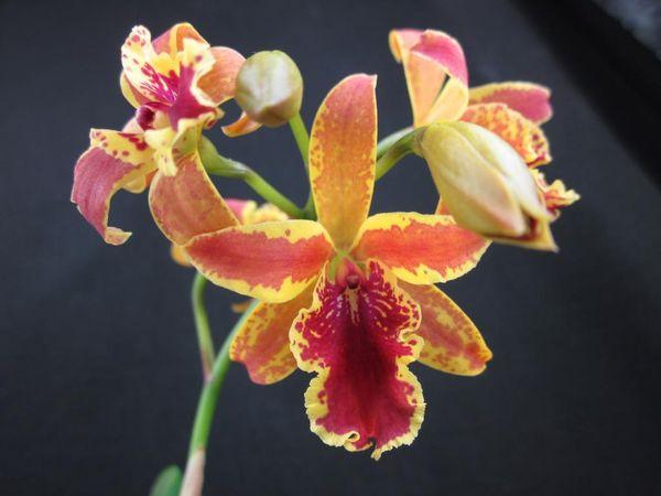 Орхидея сорта Эпидендрум