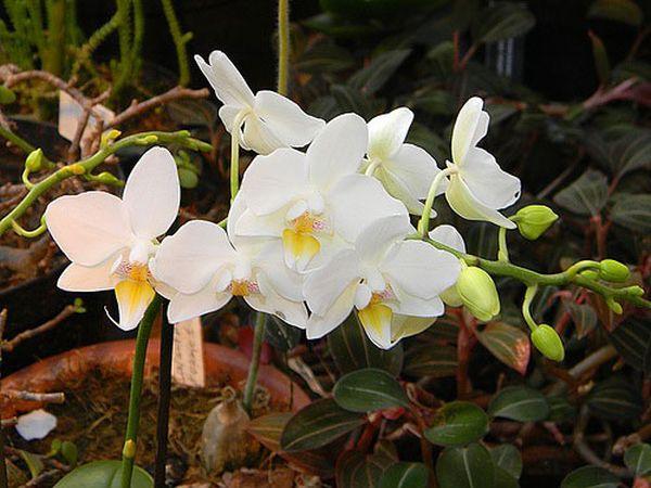 Фаленопсис приятный или Амабилис