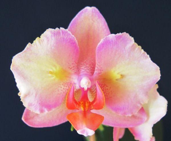 Phalaenopsis Bubble Gum «Shwartz»
