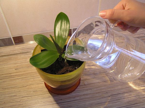Неправильная влажность губительна для орхидеи