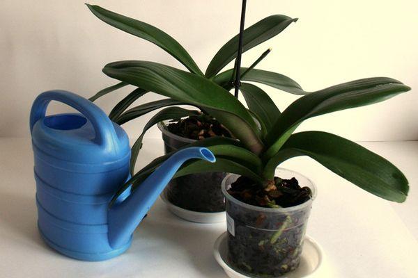 Орхидеи лучше переносят недостаток влаги, чем избыток