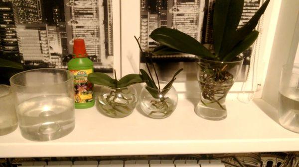 Выращивание орхидеи в воде