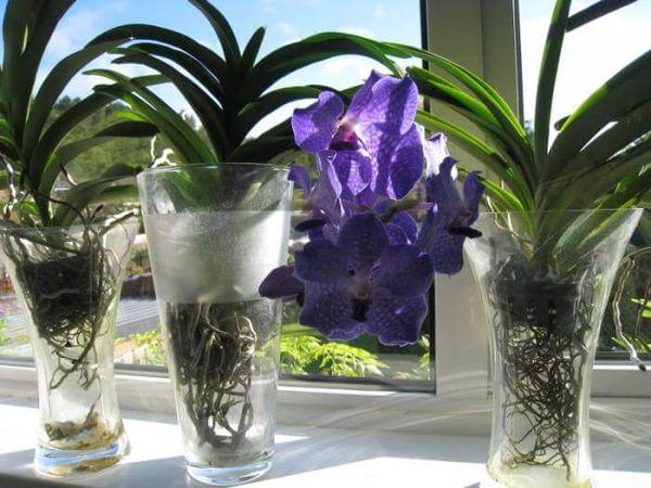 Орхидеи можно выращивать без почвосмеси