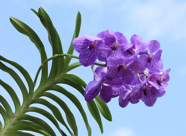 Тропическая орхидея Ванда